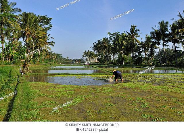Rice field, Bali, Indonesia, Southeast Asia