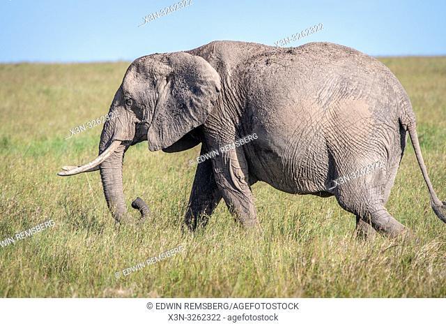 An African bush elephant (Loxodonta africana), aka African savanna elephant in Maasai Mara National Reserve , Kenya