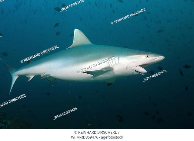 Grey Reef Shark with Cleaner Wrasse, Carcharhinus amblyrhynchos, Labroides dimidiatus, Hafsaa Thila, North Ari Atoll, Maldives
