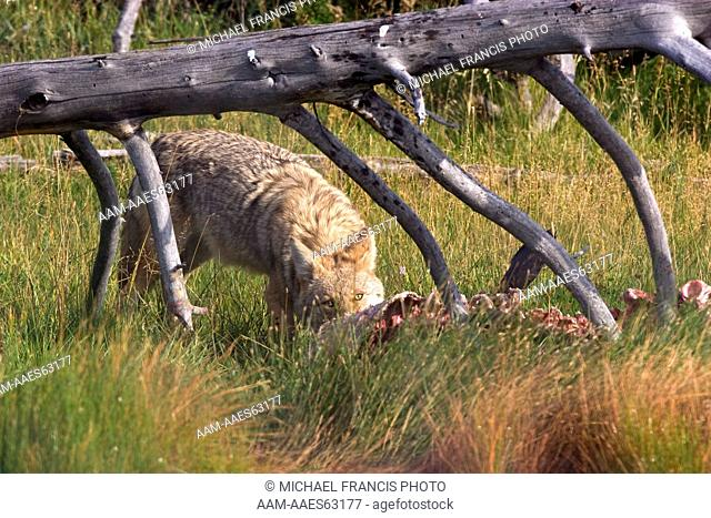 Coyote (Canis latrans), feeding on elk carcass Yellowstone National Park Wyoming