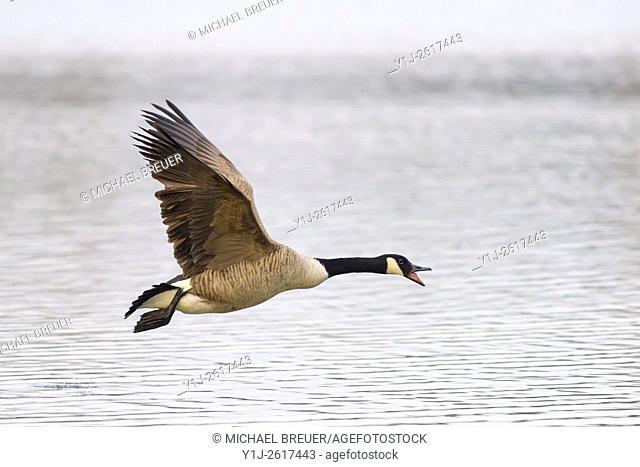 Flying Canada Goose (Branta canadensis), Hesse, Germany, Europe