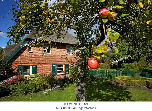 Apple-tree with ripe apples in front of a farmhouse in Ahrenshoop