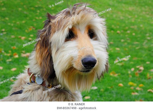 Afghanistan Hound, Afghan Hound (Canis lupus f. familiaris), six month old Afghan Hound