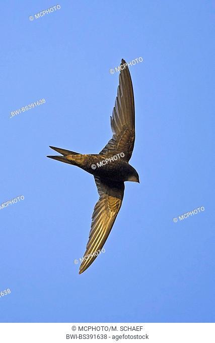 Eurasian swift (Apus apus), in flight, from below, Germany, Baden-Wuerttemberg
