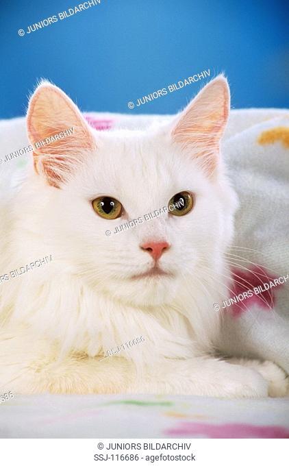 Turkish Angora Cat - portrait