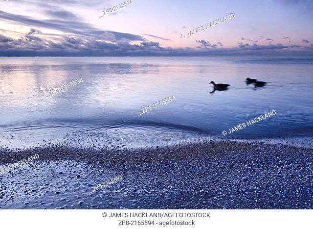 Three birds swimming on Lake Ontario with ice covered stones at dawn at the Scarborough Bluffs in Bluffer's Park, Scarborough, Ontario, Canada