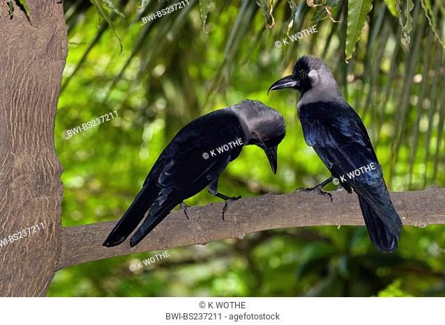 house crow Corvus splendens, pair, India, Chennai
