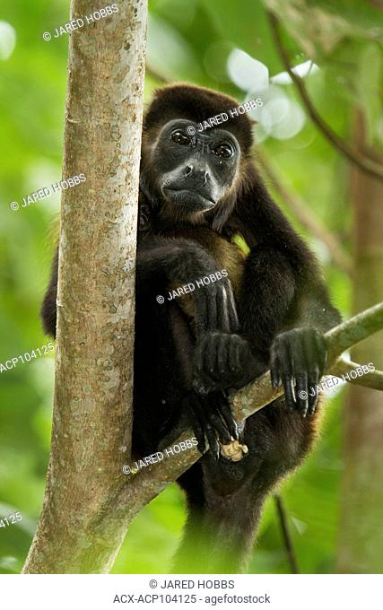 Black Howler Monkey, Alouatta palliata, Costa Rica, Central America