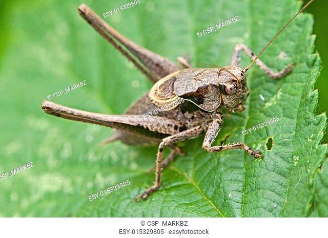 bush cricket on foliage