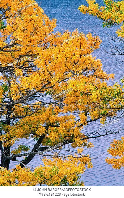 Black cottonwood (Populus balsamifera) trees display fall color above St. Mary Lake, Glacier National Park, Montana, USA