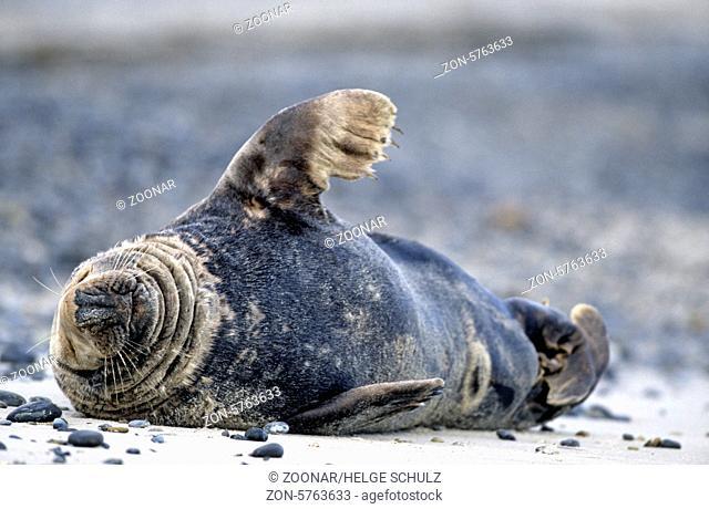 Kegelrobbenbulle schlaeft entspannt am Strand / Gray Seal bull sleeping relaxed on the beach - (Grey Seal - Horsehead Seal) / Halichoerus grypus