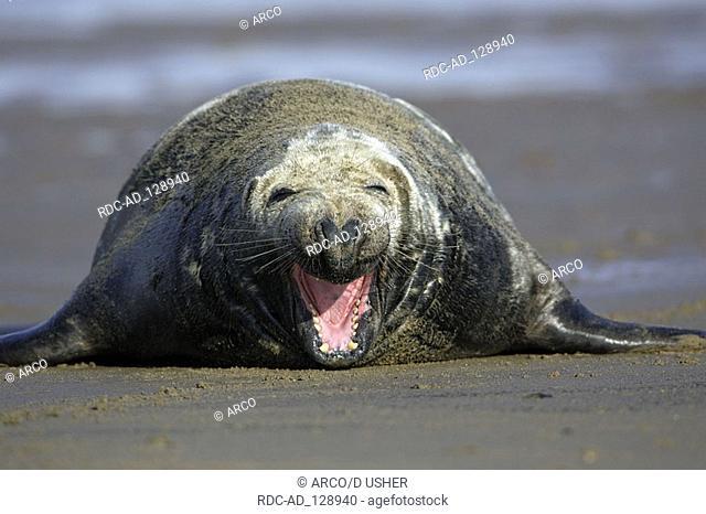 Grey Seal male England Halichoerus grypus