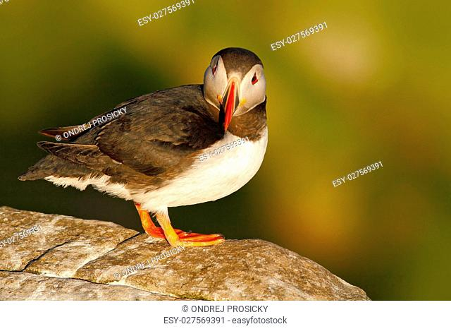 Atlantic Puffin, Fratercula artica