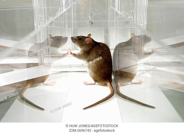 Laboratory Rat in psychology experiment, glass maze