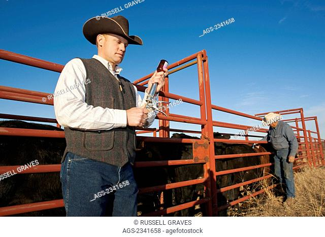 Livestock - Rancher filling a syringe to doctor cattle in a corral while another rancher in the background applies vaccination to cattle / Childress, Texas, USA