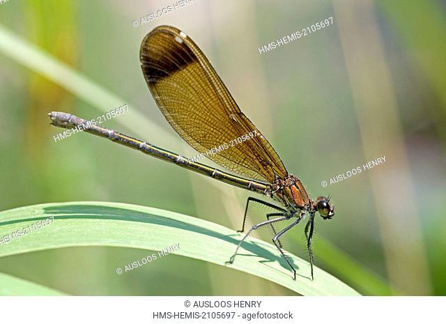 France, Garrigue, Mediterranean Calopteryx (Calopteryx haemorrhoidalis)