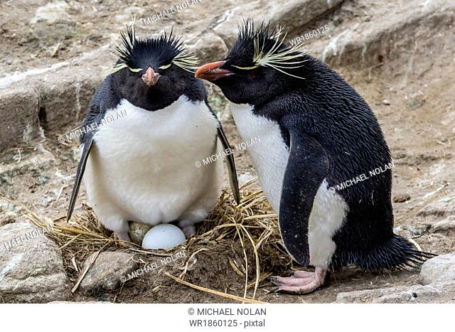 Adult rockhopper penguins (Eudyptes chrysocome) at nesting site on New Island, Falkland Islands, U.K. Overseas Protectorate, South America