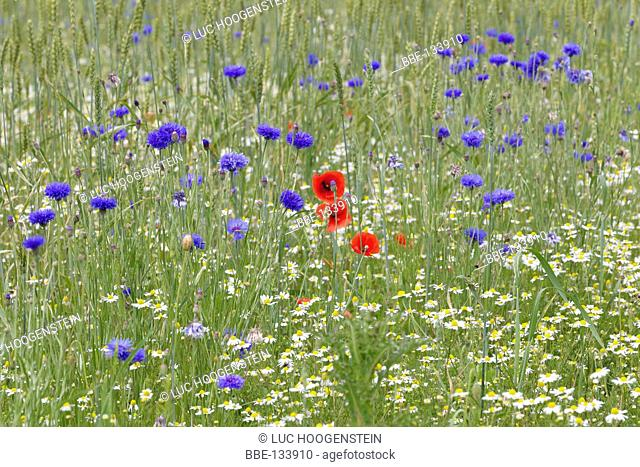 Wheat field with chamomile, poppy and cornflowers
