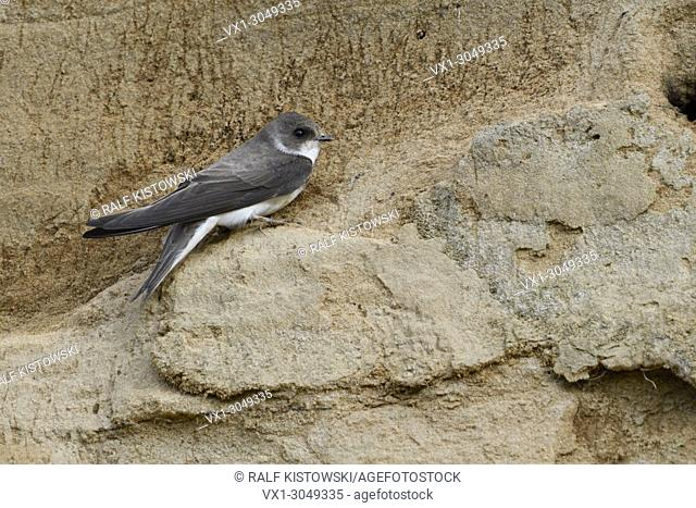 Sand Martin / Bank Swallow ( Riparia riparia ) perched on a cliff ledge of a sandy river bank, detailed side view, wildlife, Europe