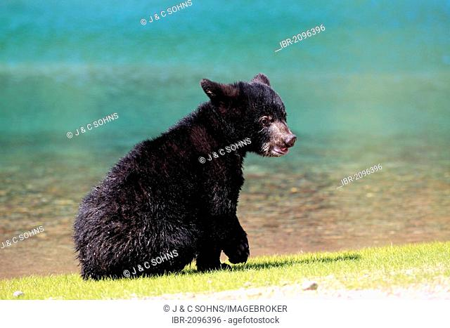American Black Bear (Ursus americanus), cub, six months, by the water, Montana, USA, North America