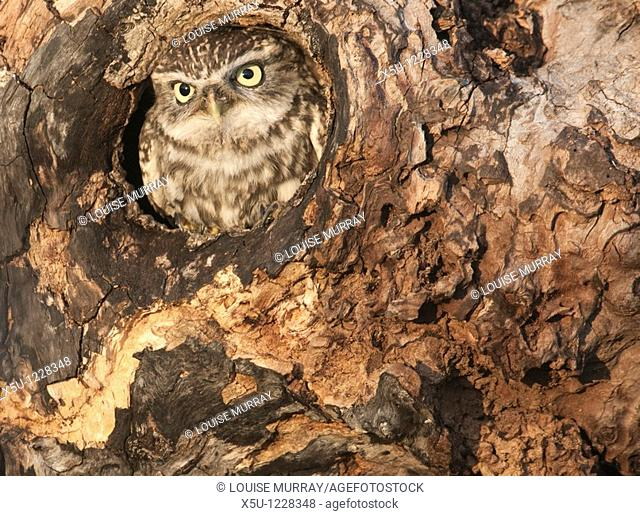 Little owl Athene noctua in hole in hollow tree The little owl is a diminutive species, which possesses a plump, round body