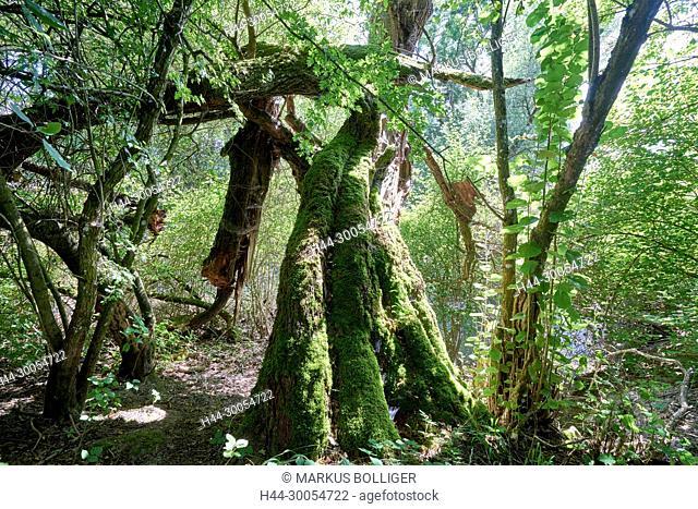 Meadow, meadow wood, nature reserve, deciduous forest, wetland, NSG, NSG 174, NSG 174 Archer Inseli-Widi, meadow, dead wood, poplar, black poplar, Populus nigra