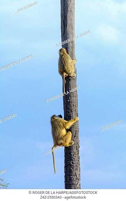 Yellow baboon (Papio cynocephalus) climbing a lala palm. Ruaha National Park. Tanzania