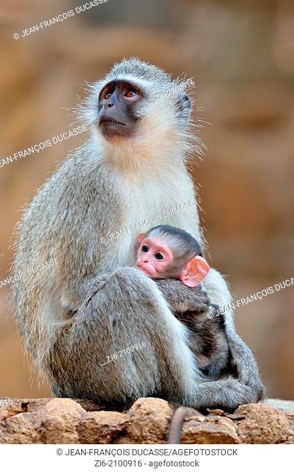 Vervet monkeys, Cercopithecus aethiops, mother and male baby, Kruger National Park, South Africa