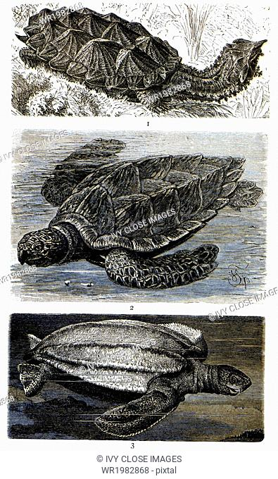The turtles pictured here are: 1. Matamata, 2. Diamandback, 3. Leatherback. Turtles are distinguished by their long, compresed, fin-shaped, non retractible feet