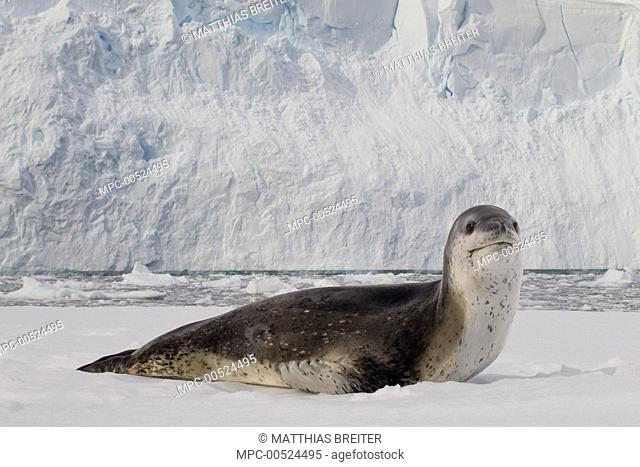 Leopard Seal (Hydrurga leptonyx) on ice floe, Neko Harbor, Antarctic Peninsula, Antarctica