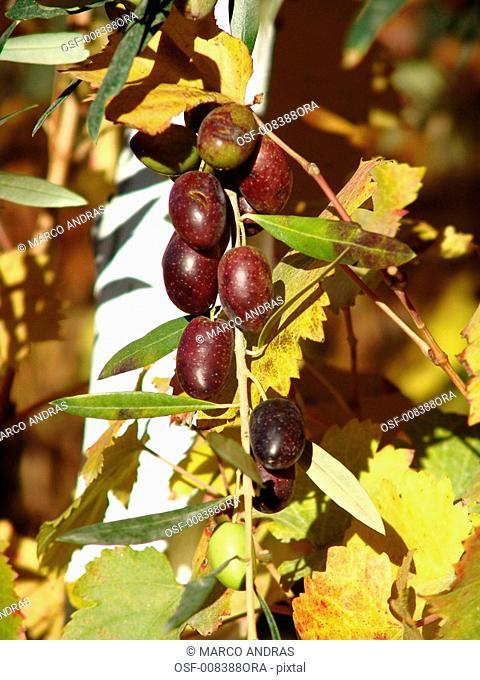 olives on a tree branch crop plantation