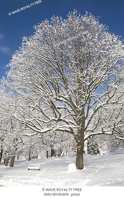 Heavy clotted snow on trees