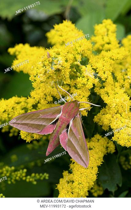 Elephant Hawk-Moth - on Golden Rod - Cornwall - UK