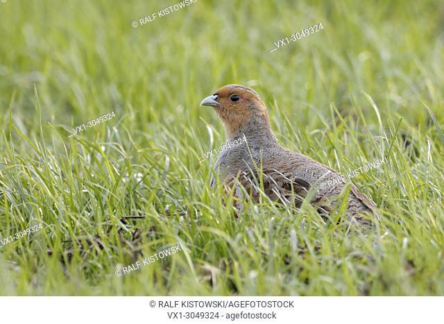 Attentive Grey partridges ( Perdix perdix ) sitting in a green field, watching around, wildlife, Europe