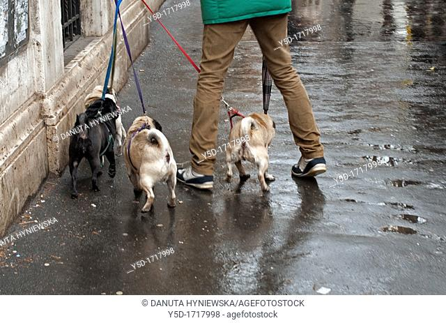 Man walking out four little buldogs, sidewalk after rain, actually Rome, Italy, Europe