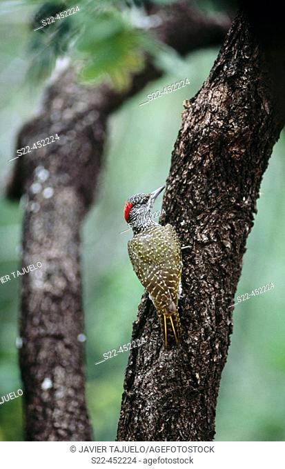 Female Knysna Woodpecker (Campethera notata), endangered species endemic to South Africa