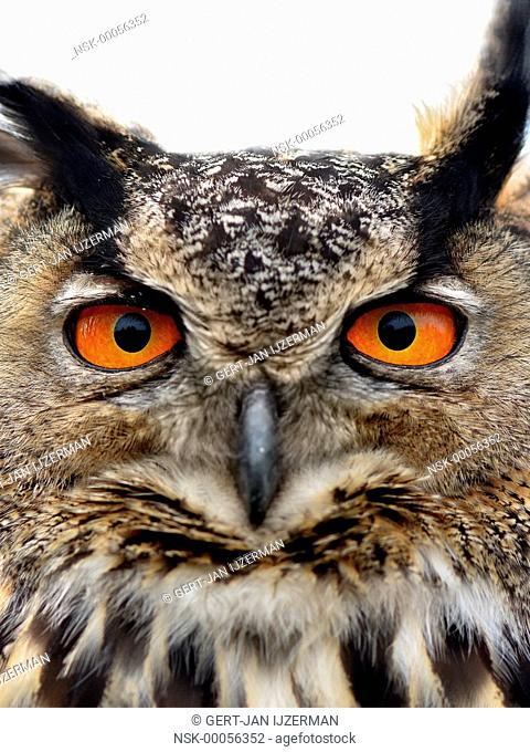 Portrait of a Eurasian Eagle Owl (Bubo bubo), looking at camera, very close, The Netherlands, Gelderland