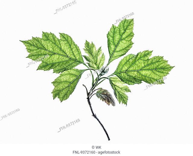 Leaf of a oakleaf hydrangea