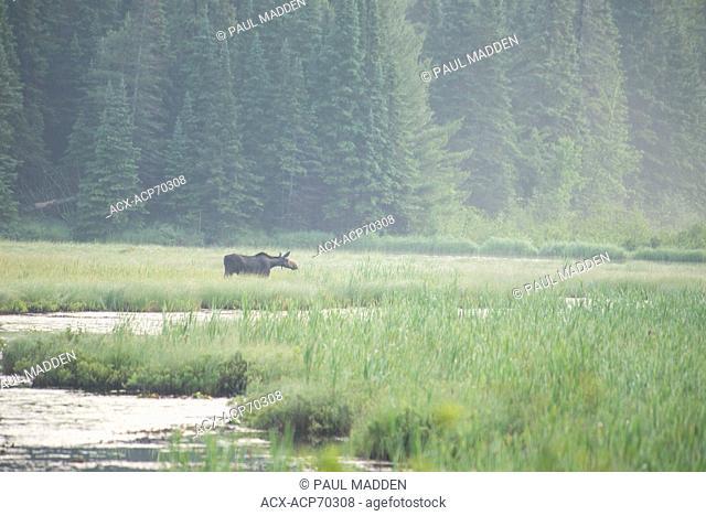 Cow Moose( Alces alces ) , Algonquin provincial Park, Ontario, Canada