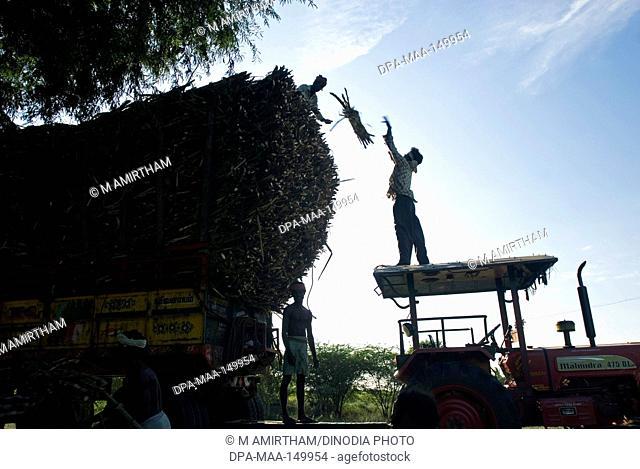 Harvested sugarcane loading on tractor near Vadalur ; Tamil Nadu ; India