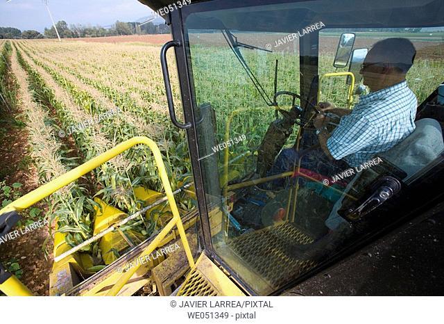 Corn harvesting, Oco near Estella. Navarra, Spain