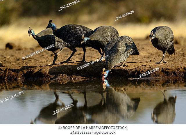 Helmeted guineafowl (Numida meleagris) drinking. Mashatu Game Reserve. Northern Tuli Game Reserve. Botswana
