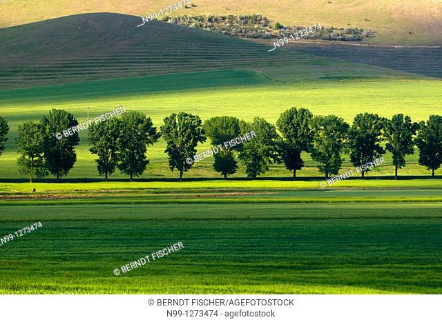 Poplar-lined country road, cornfield, steppe mountains, Dobruja, Romania