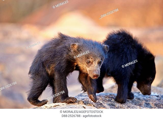 Asia, India, Karnataka, Sandur Mountain Range, Sloth bear Melursus ursinus, baby
