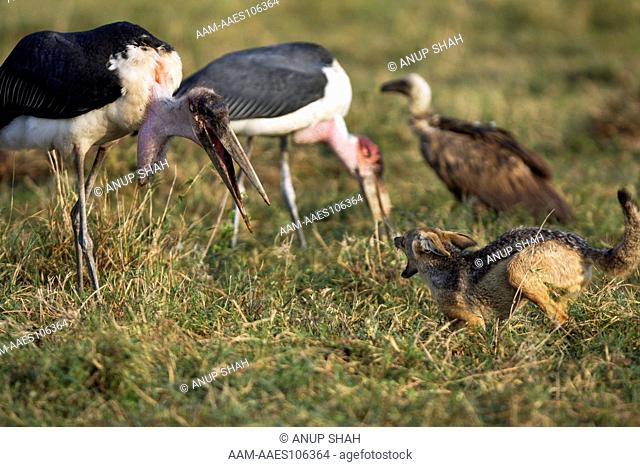 Black-backed Jackal (Canis mesomelas) in confrontation with Marabou stork (Leptoptilos crumeniferus) while defending a kill