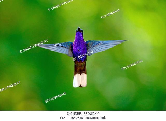 Hummingbird Violet Sabrewing, Campylopterus hemileucurus, flying