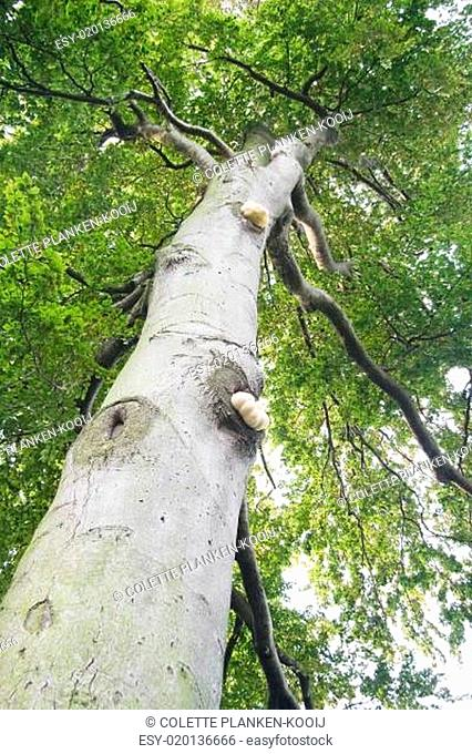 Trunk of old beech