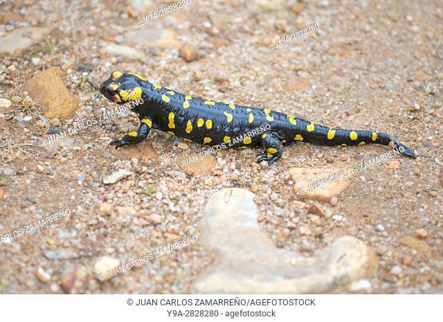 Salamandra salamandra ssp bejarae, salamander, urodela. amphibian, during day, Saelices el Chico, Salamanca, Castilla y Leon, Spain
