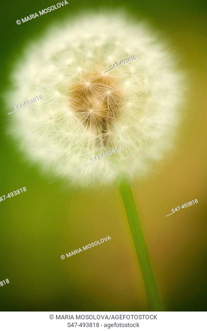 Dandelion Seedhead. Taraxacum officinale Weber. June 2005. Maryland, USA