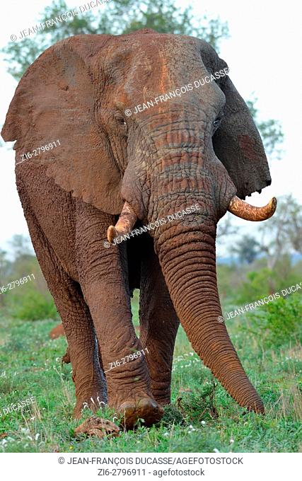 African bush elephant (Loxodonta africana), bull, covered with mud, foraging, Kruger National Park, South Africa, Africa